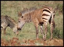 Hartmann's Mountain Zebra foal