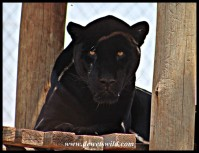 Black Jaguar at the Wildlife Centre