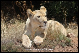 Young lioness at the Rhino & Lion Nature Reserve