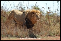 Big male lion at the Rhino & Lion Nature Reserve