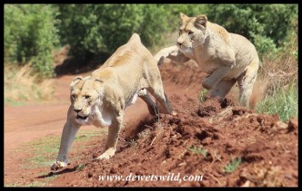 Energetic female lions at the Rhino & Lion Nature Reserve