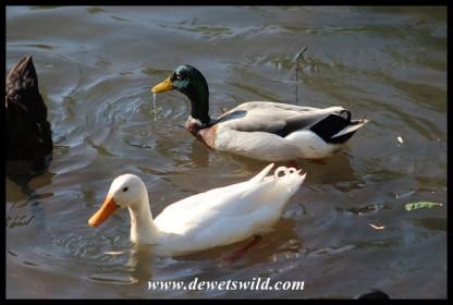 Mallard and domestic duck