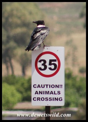 Pied Crow (hoping for road kill?)