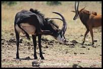 Sable Antelope bull