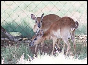 Suni breeding pair at the Wildlife Centre at the Rhino & Lion Nature Reserve