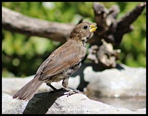 Thick-billed Weaver female
