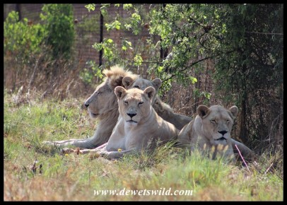 White Lions at the Rhino & Lion Nature Reserve