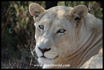 White Lion at the Rhino & Lion Nature Reserve