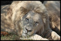 White Lion at the Rhino & Lion Nature Reserv