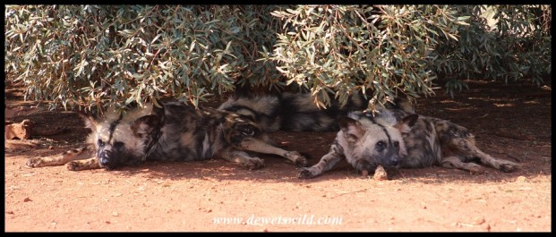 African Wild Dogs at the Rhino & Lion Nature Reserve