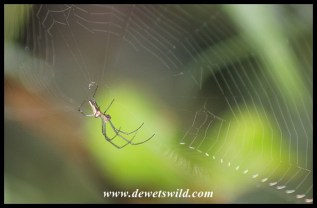 Golden Orb Web Spider (male)