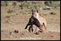 Spotted Hyena and Buffalo prey