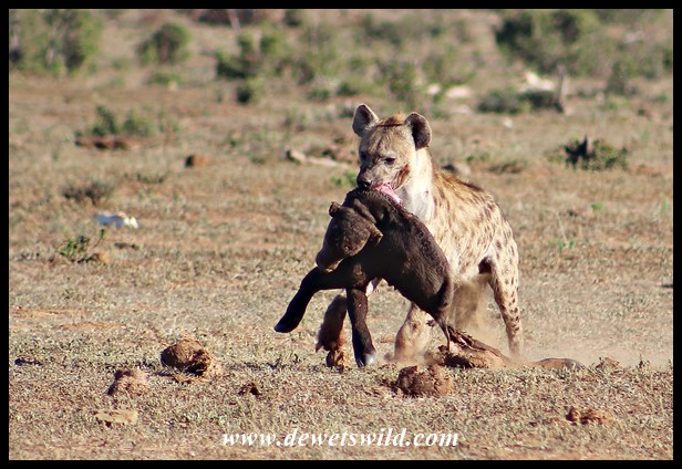 Spotted Hyena and Buffalo prey