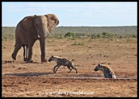 Annoyed elephant spoiling the hyena feast