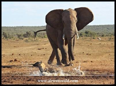 Elephant locked onto target!