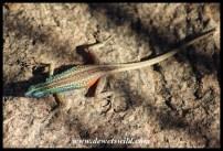 Augrabies Flat Lizard male
