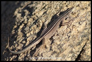 Augrabies Flat Lizard female