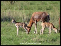 Blesbok ewe with lamb