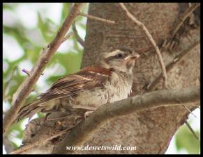Cape Sparrow chick