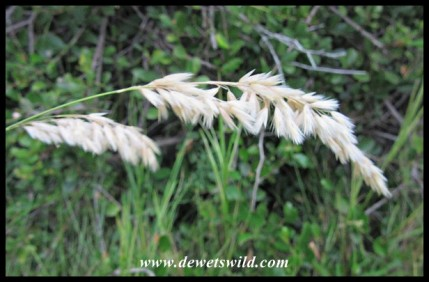 Grass Flower-head