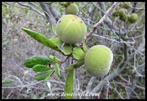 Common Star-Apple