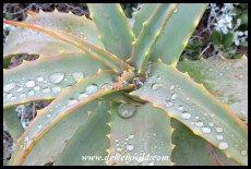 Water droplets on aloe leaves
