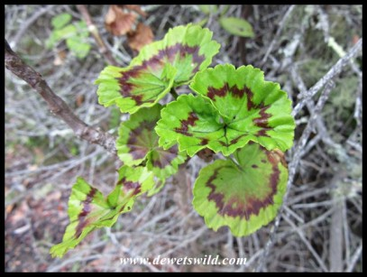 Intricately patterned geranium leaves