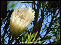 Sugarbush (Protea repens) at Bontebok National Park