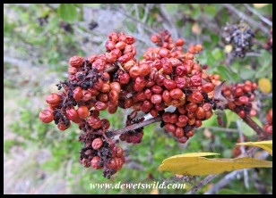 Glossy Currant berries