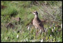 Immature Crowned Lapwing
