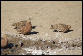 Burchell's Sandgrouse