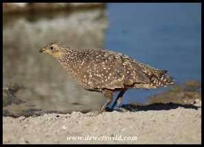 Burchell's Sandgrouse (female)