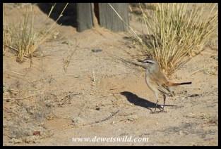 Kalahari Scrub Robin