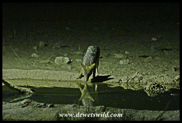 Black-backed Jackal seen from the hide at Nossob