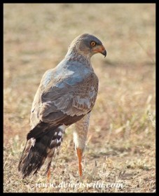 Pale Chanting Goshawk (Immature)