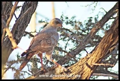 Pale Chanting Goshawk (Immature) with dove kill