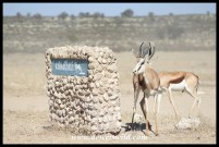 Springbok at Kannaguass waterhole