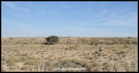 Gemsbok in the lower Nossob