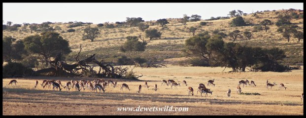 Springbok herd in the Auob valley
