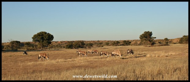Gemsbok in the Auob River