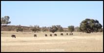 Gemsbok herd on the move