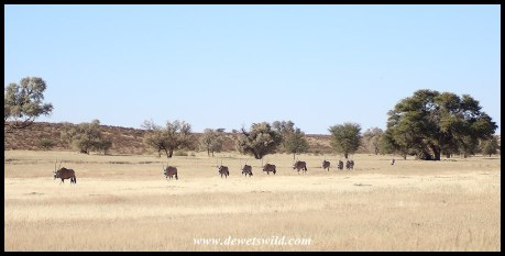 Gemsbok herd on the move