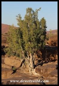 Namaqua Fig