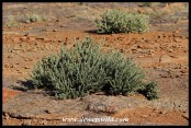 Small Namaqua Porkbush on Augrabies' Moon Rock