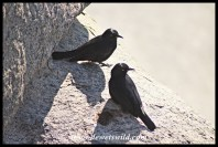 Pale-winged Starlings