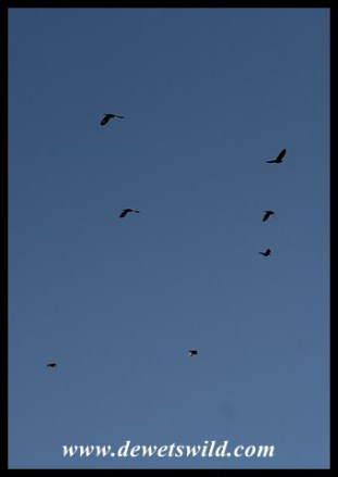 Pale-winged Starlings in flight