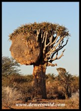 Quiver Tree with Sociable Weaver Nest