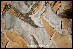 Quiver Tree bark