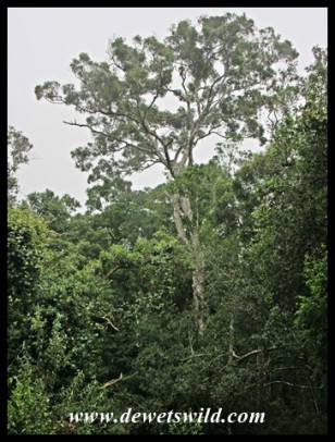 Woodville Forest's giant Outeniqua Yellowwood (Podocarpus falcatus)
