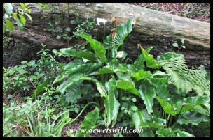 Woodville Forest - Common Arum Lily
